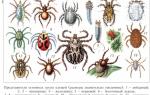 Виды клещей с фото и описанием: паразитоформные, поселковые, пастбищные, гамазовые, акариформные и другие