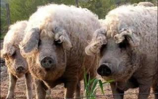 Породы свиней с описанием и фото: названия, виды и фотографии поросят