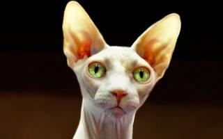 Канадский сфинкс: фото и описание кошек данной породы, особенности ухода