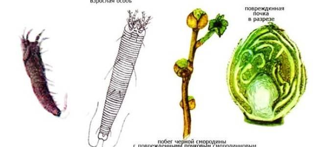 Почковый клещ на смородине: меры борьбы весной, как выглядит, фото, видео, рекомендации