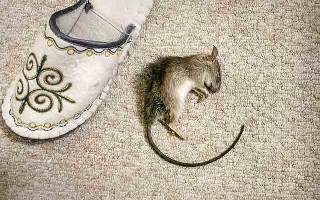 Клей от мышей, крыс и других грызунов: обзор популярных средств, как выбрать подходящий, отзывы
