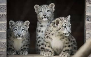 В зоопарке Кливленда подрастают детёныши снежного барса