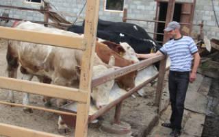 Особенности выращивания бычков на мясо: плюсы, структура бизнес плана, ожидаемый доход