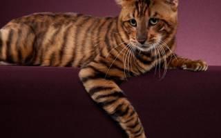 Породы кошек с тигриным окрасом