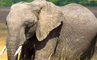 В Индии слон сел на ударившего его надсмотрщика и раздавил