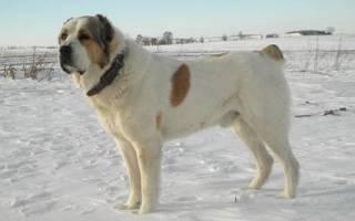 Бульдозер — самый большой пёс и рекордсмен породы алабай