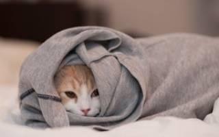 Кальцивироз у кошек, симптомы и способы лечения вирусного заболевания