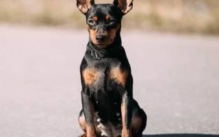 Карликовый пинчер: описание породы и фото, особенности содержания и питания, выбор щенка и цена