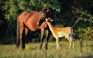 Каждое утро оленёнок приходит к лошади, считая её своей мамой