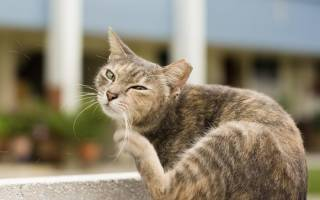 Почему кошка чешется если нет блох, что делать