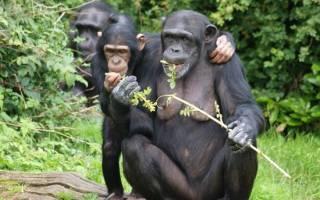 Шимпанзе делятся едой только с друзьями