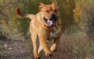Собака ка де бо и ее описание внешности и характера, основные характеристики породы Кадебо и фото