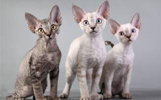 Какие породы кошек самые дорогие: описание и цены