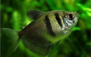 Тернеция: внешний вид, уход и содержание, размножение рыбок в аквариуме