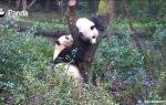В Китае две панды не смогли поделить одно дерево