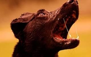 Симптомы, указывающие на бешенство у собаки