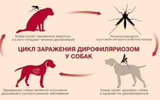 Что важно знать о глистах в сердце собаки — Zoolog.guru