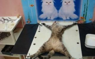 Когда можно делать стерилизацию кошек: возраст который хорошо подходит для операции