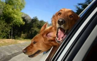 Собаку укачивает в машине что делать — причины и какие таблетки можно дать