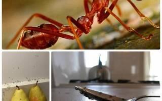 Как избавиться от муравьев на кухне: чем их травить, обзор популярных средств