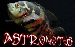 Астронотус — содержание, кормление, совместимость с другими рыбами и уход