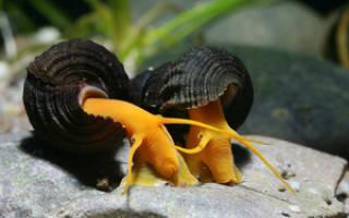 Аквариумные улитки: название и описание с фото всех видов, особенности содержания и питания, размножение