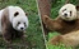 Уникальной коричневой панде подобрали пару