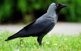 Галка: описание внешнего вида птиц, сведения о поведении, питании и размножении