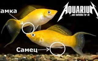 Содержание, уход за молли и размножение рыбок, как отличить самца от самки моллинезии