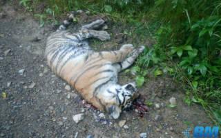 В Хабаровском крае у дороги обнаружили мёртвого тигрёнка