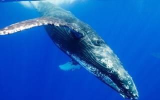 Где обитают синие киты: внешний вид, как размножаются, чем питаются