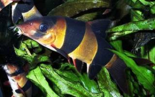 Рыбки семейства боция: описание, правила ухода и содержания