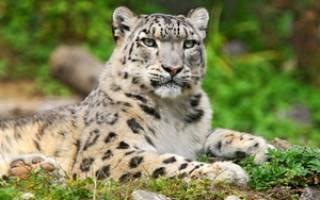 Описание внешнего вида и охотничьих повадок снежного барса с фото