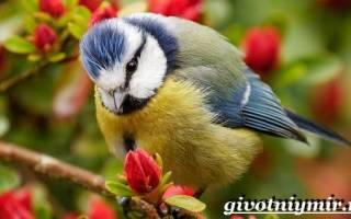 Основные принципы размножения, способов питания и регионального расселения птиц лазоревок