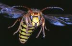 Шершень: как выглядит, размер, фото, виды, описание гнезда, чем отличается от осы