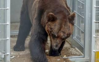 После 17 лет заключения в клетках, медведи впервые ходят по земле