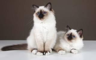 Топ 10 лучших пород кошек для квартиры — фото и описание