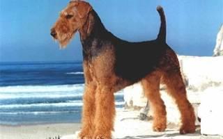 Как вырастить эльдертерьера: описание породы, правила ухода, фото собак