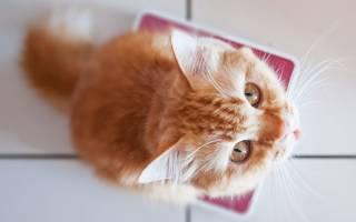 Как правильно взвешивать кошку