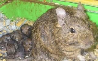 Чилийская белка дегу: описание животного, особенности содержания и ухода в домашних условиях