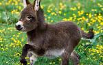 Как правильно говорить ишак или осел: происхождение слова, что это за животное и в чем разница