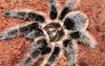 Паук-птицеед Брахипельма альбопилосум: описание внешнего вида и поведения, содержание в домашних условиях