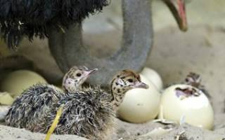 Выращивание и цена страусов для разведения в домашних условиях (видео помощь)