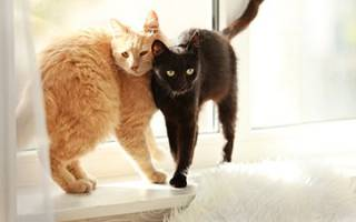Течка у кошки: первая течка и сколько дней длится, признаки течки у кошки