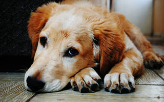 Основные причины кашля у собаки