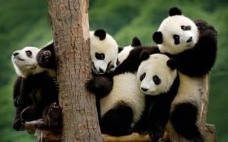 Заповедник в Китае напомнил об опасности панд