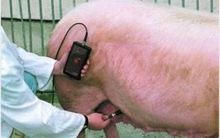Опорос свиней: определение супоросности, сколько дней ходит беременная свиноматка, подготовка к опоросу