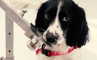 Собак научили распознавать малярию по запаху