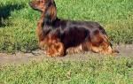 Собака такса: характеристика, достоинства и недостатки породы, отзывы владельцев собаки