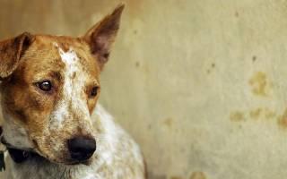 Чумка у собаки: симптомы заболевания и лечение в домашних условиях, профилактика заболевания
